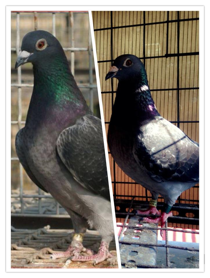 STICHELBAUT – PIGEON RACING PHILIPPINES